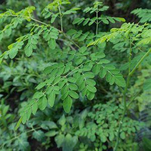 The moringa plant
